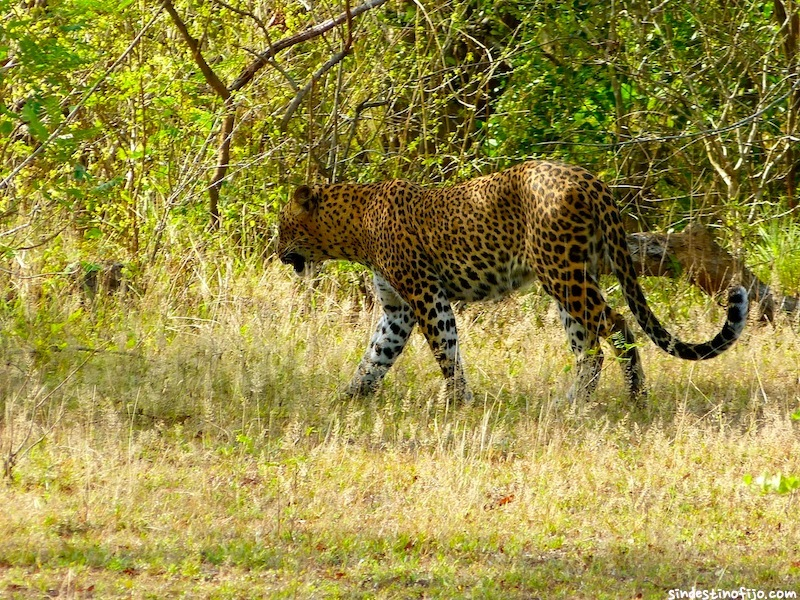 Leopardo en Yala National Park